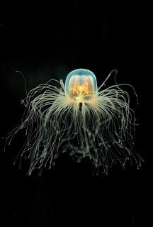jelly fish pretending it's an octopus