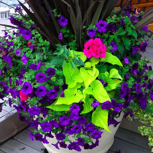 Potato vine, petunia, geranium, spanish dagger. I love the contrast of the purple and green.