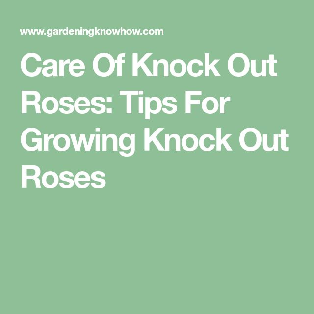 Care Of Knock Out Roses: Tips For Growing Knock Out Roses