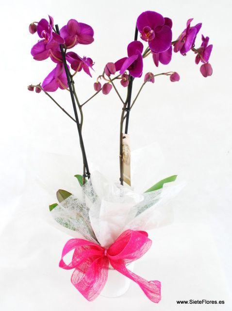 Orquídea. Venta Online de plantas en Zaragoza. SieteFlores. Plantas a domicilio