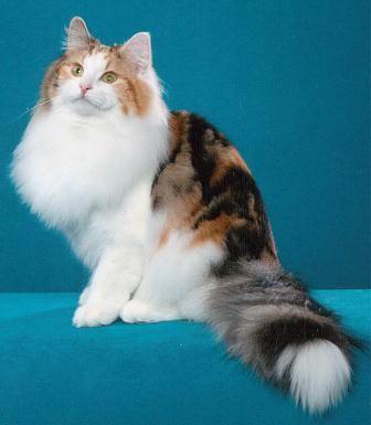 Calico Norwegian Forest Cat. | Norwegian Forest Cat ...