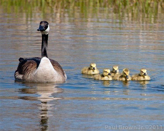 Brown Daily Herald Canada Goose