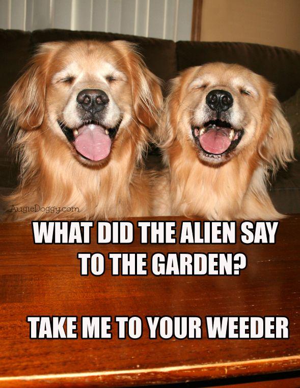 Funny Golden Retriever Alien Joke Meme Postcard by #AugieDoggyStore