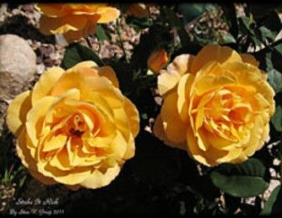 Learn About Weeks Roses - Weeks Roses are loved and admired the world over and are considered to be some of the most beautiful roses available.