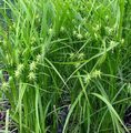 Plants native to Iowa.  Where to buy.  PICTURED ABOVE- CAREX GRAYI | Gray's Sedge