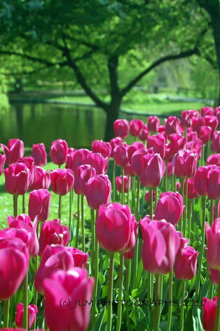 Flower Photography - Pink Tulips Photograph Award Winning Photograph 8 x 10 Boston Public Gardens Photograph.