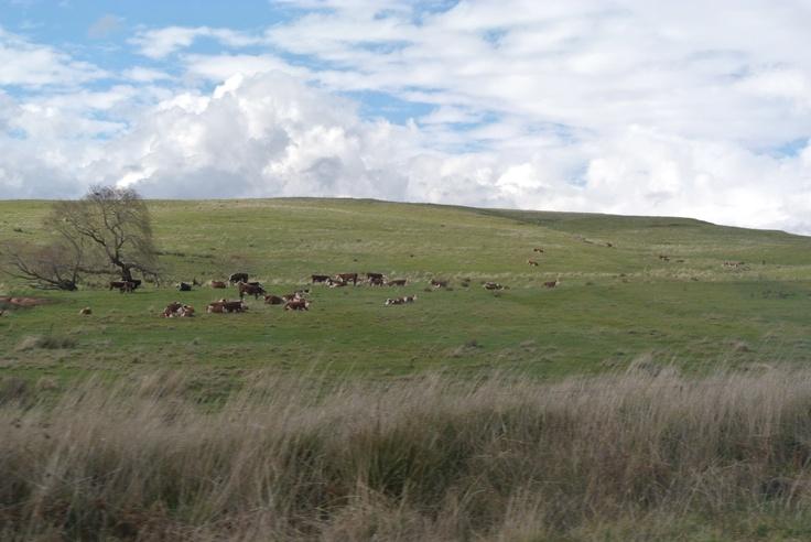 cows' heaven