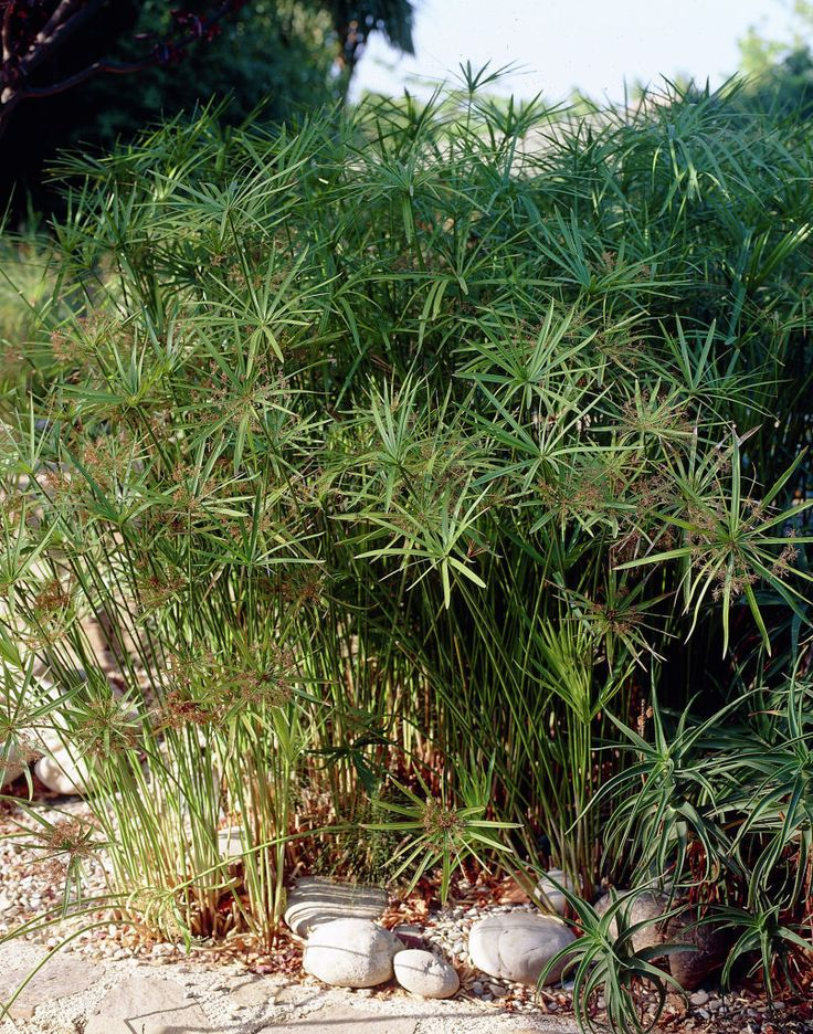 19 best images about papyrus on pinterest cyperus for Recommended pond plants