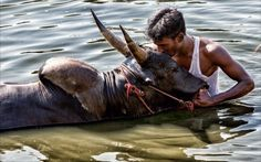 The Tamil sport Jallikattu has been in the news for the last few weeks thanks to a ban imposed by the Supreme Court. But what really happens at a Jallikattu? What does the sport mean and how is it 'played'?