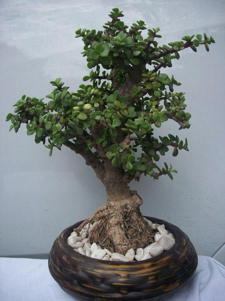 1000 images about rbol de la abundancia on pinterest bonsai trees lifestyle and feng shui - Plantas para bonsai ...