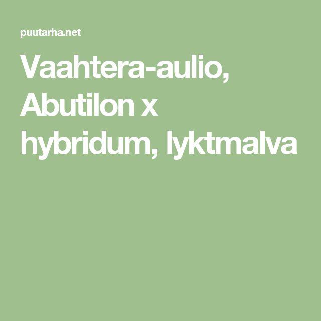 Vaahtera-aulio, Abutilon x hybridum, lyktmalva
