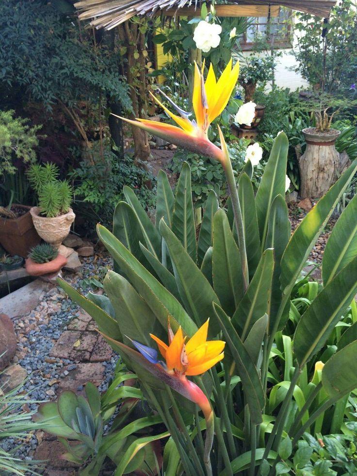 astounding garden seating ideas native design | Strlitzia reginae | Amazing plants | Australian native ...
