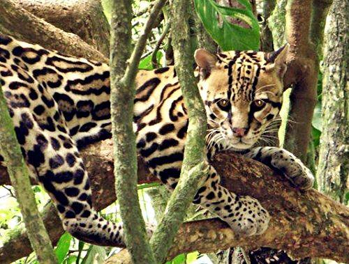 #Leopardus pardalis - #Ozelot (ocelot)   Die Heimat des Ozelot ist Zentral- und #Mittelamerika. Er ist der größte und bekannteste Vertreter seiner Art, der #Pardelkatzen. Der nachtaktive Einzelgänger fühlt sich in unseren #ForestFinance #Wäldern sichtlich wohl.