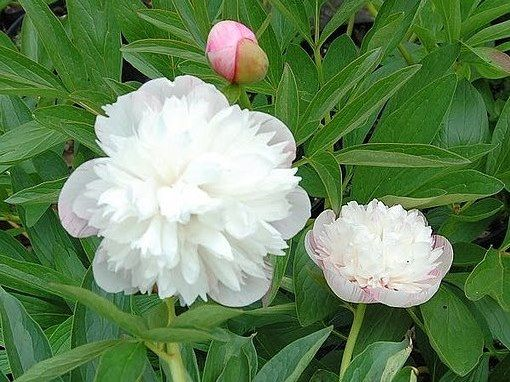 Witte pioenrozen : Pioenroos officinalis Alba Plena