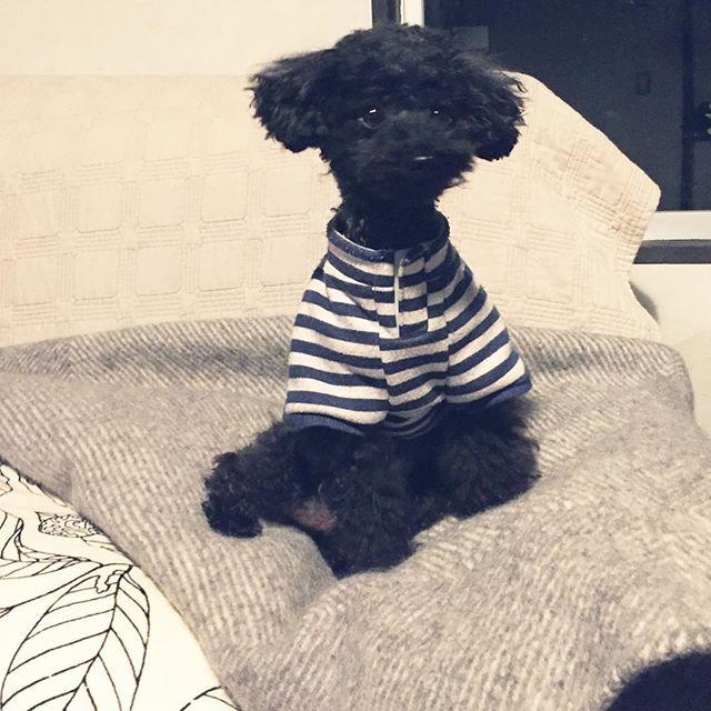 いつも愛犬の散髪に2時間かかります…。写真を写して気づいた…(●´ω`●)首にちょこっとチョロげがある…笑。やはり、ちゃんとトリミングしてあげなきゃかわいそうだから、次回はお店で散髪だな♡ #プードル #黒プードル #黒プー #プードル部  #無印 #無印良品 #無印良品ラグ #無印良品毛布 #愛犬 #愛犬との暮らし #愛犬との生活