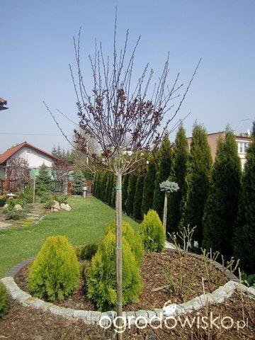 Igiełkowy ogródeczek - strona 468 - Forum ogrodnicze - Ogrodowisko