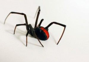 RedBack Spiders - Important Questions Answered