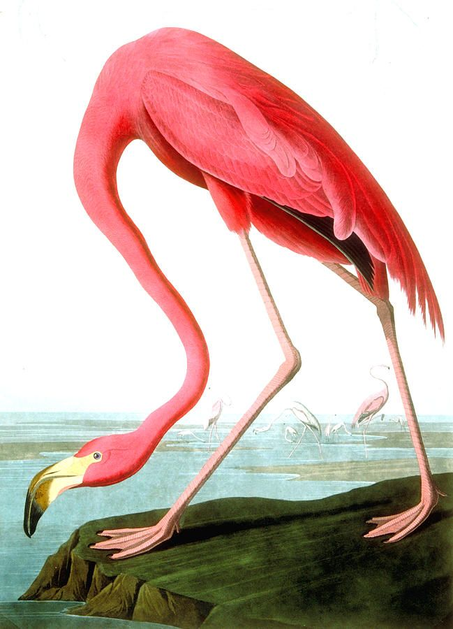 American Flamingo Painting by John James Audubon - American Flamingo Fine Art Prints and Posters for Sale