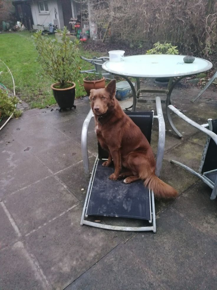 Pin By Emyr Rees On Tammy Max Kelpie Labrador Retriever Labrador Animals