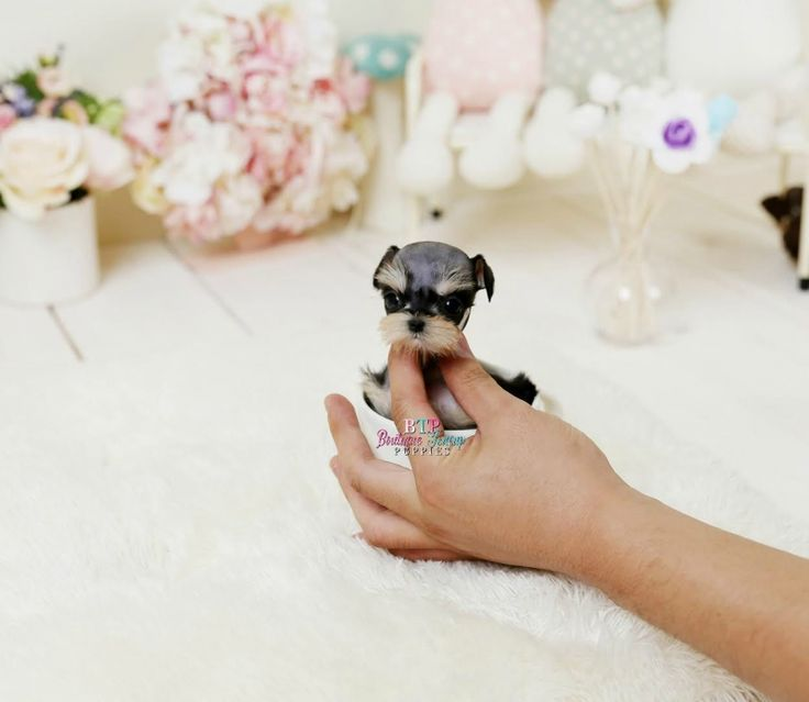 Adorable Amazing Extreme Micro Teacup Schnauzer Baby Girl ~ Mimi ~ Call for Price!