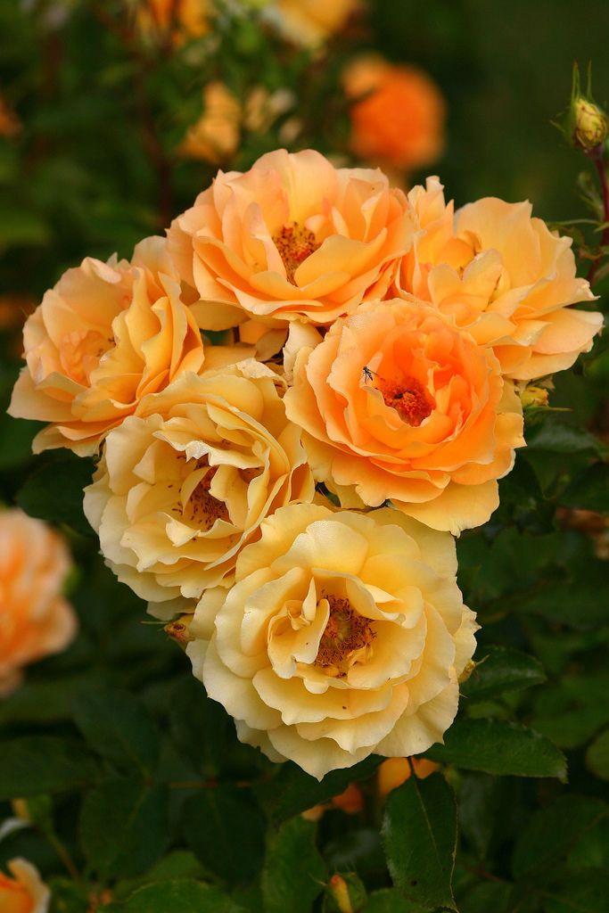 'Eureka' | Floribunda Rose. Wilhelm Kordes III (b. 1953) (Germany, 2002) | Flickr - © Photo Patty