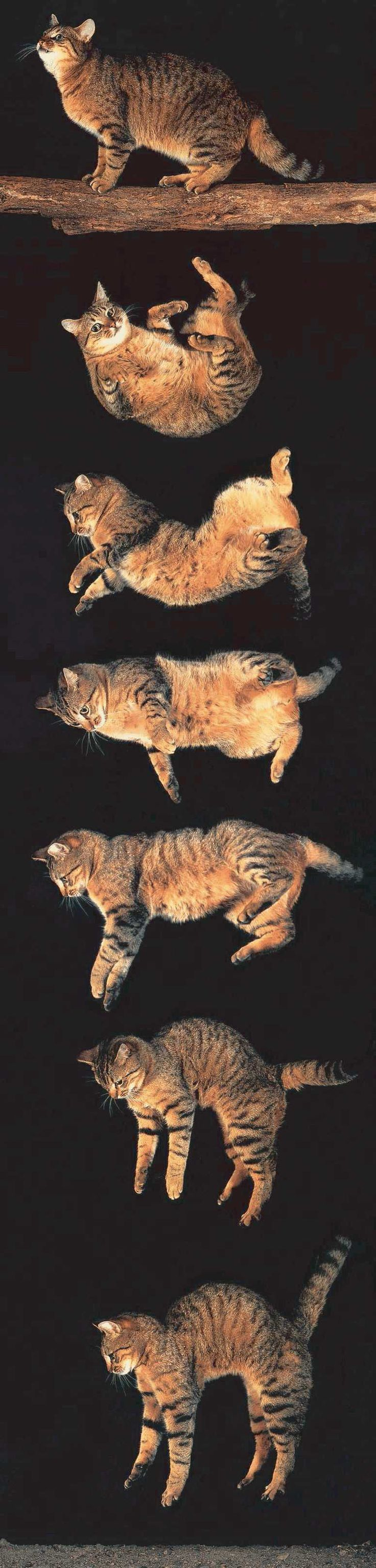 Stages Of Cat Twistfalling