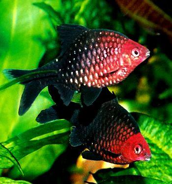 Peixes Ornamentais Preto e Vermelho