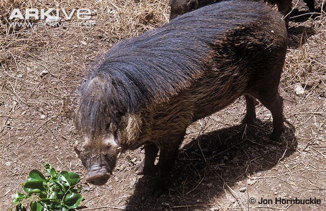 Philippine warty pig