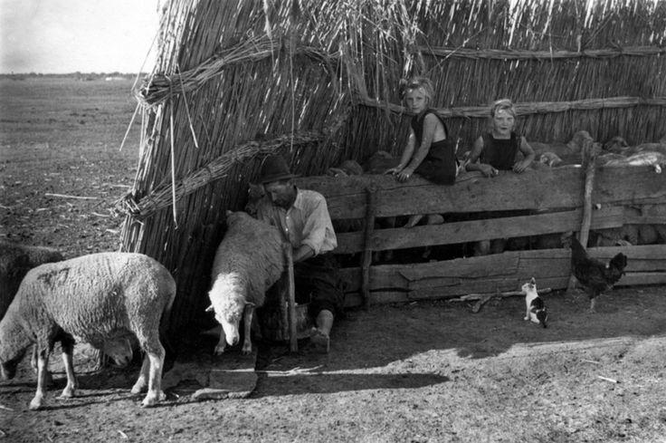 Fejés a juhszárnyéknál. 1959.