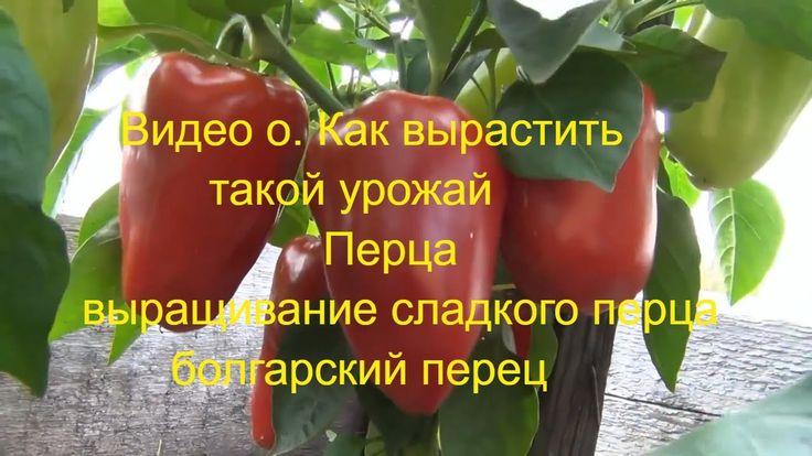 Видео о. Как вырастить такой урожай ПеРцев 1 июля 2017 выращивание сладк...