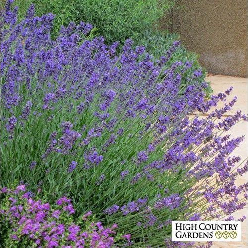 Purple Lavandula angustifolia Pastor's Pride, Lavandula angustifolia Pastor's Pride, Pastor's Pride English Lavender