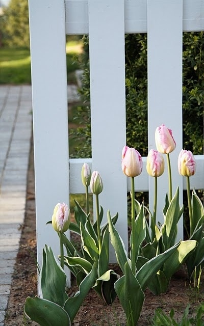 Lovely Tulips.  So simple but beautiful.