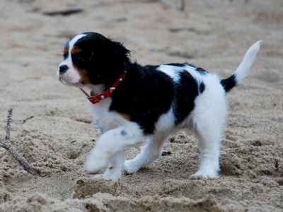 Ischa, the cavalier king charles pup for the first time at the beach