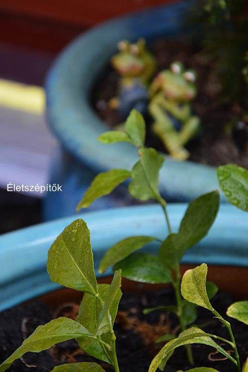Citromfát nevelünk. Tavaszi átültetés | Életszépítők