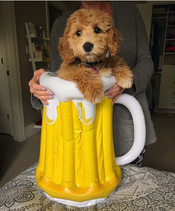 Is it beer o'clock yet? 🍺🕰😂Continuing the Satur-yay-yah! Edition of DoodleTales, here's Nora, a Mini Goldendoodle from Canada! 🇨🇦🐶🇨🇦 See more pics at @noragdoodle  ---------------------------------------  *Spotlighting Doodles & All Poodle Mixes*    From @doodletales  #poodle #poodlemix #poodlelove #poodlepic #poodletoy #poodle🐩 #poodlegram #poodlelife #poodleclub #poodlepup #poodlemom #poodlemeet