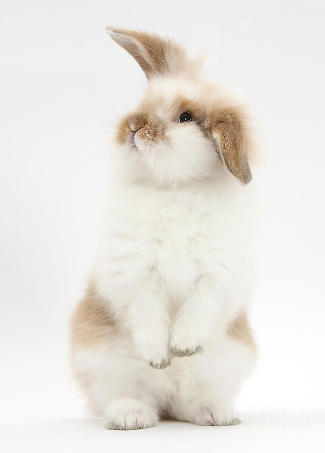 A young fluffy rabbit standing… obviously… (le…