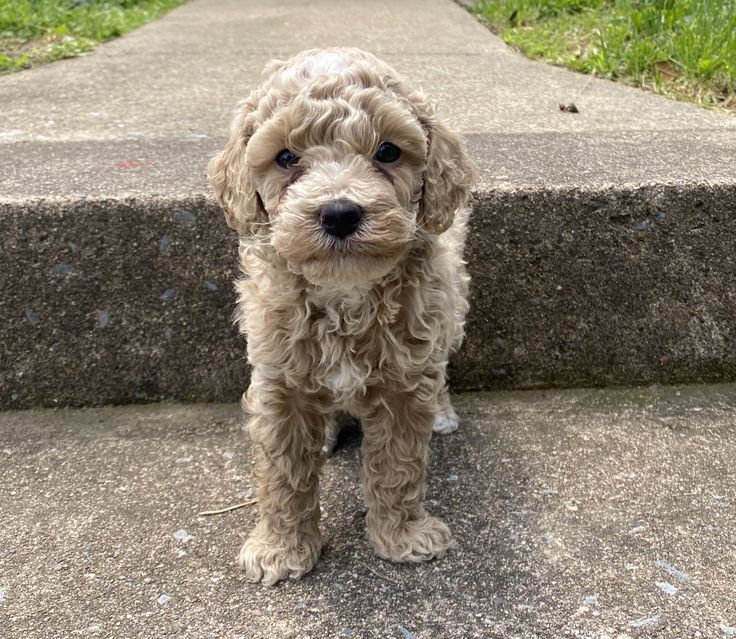 Alvin ica miniature poodle puppy for sale near