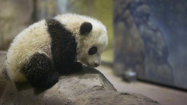 DC's baby panda