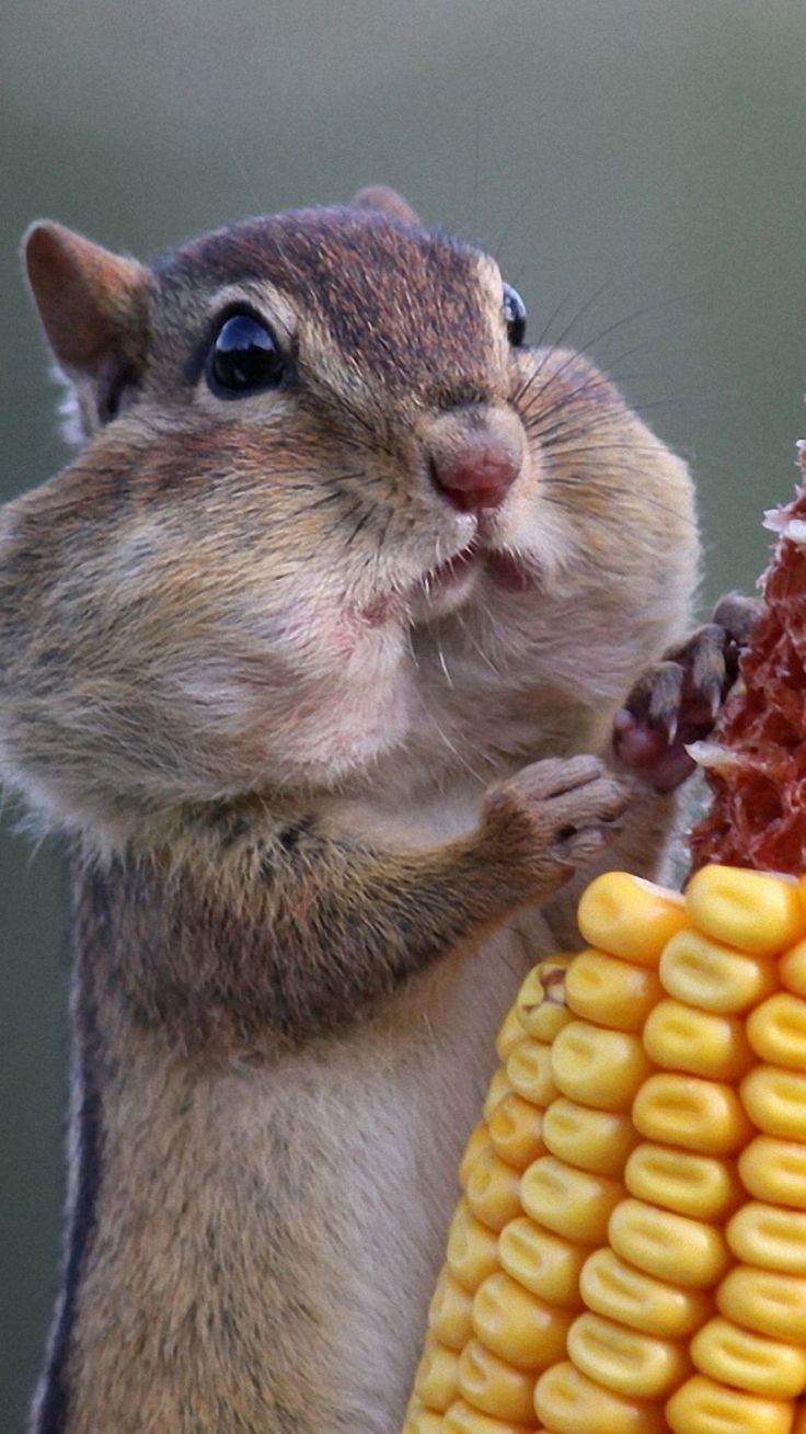 Download Wallpaper 1080x1920 squirrel, food, corn Sony Xperia Z1, ZL, Z, Samsung Galaxy S4, HTC One HD Background