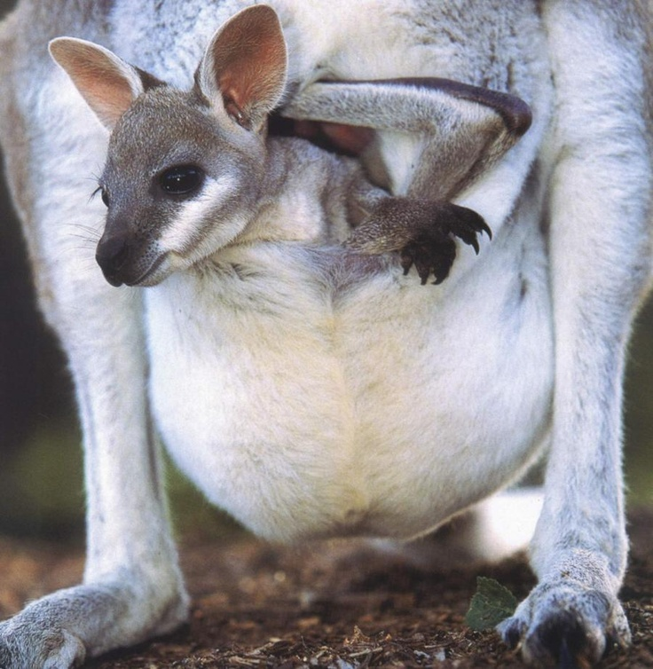 A pocket filled with cuteness!a joey (baby kangaroo):):):)