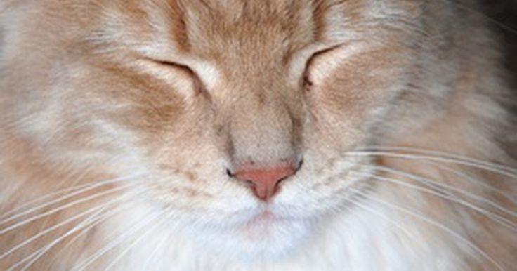Tipos de razas grandes de gatos domésticos. El Maine Coon es uno de las cientos de razas de gatos domésticos grandes. Estas razas tienen pelaje grueso y pesado y grandes características cuando se comparan con razas más pequeñas. Los gatos domésticos muy grandes como el Sabana pueden ser cariñosos y juguetones como los felinos más pequeños.
