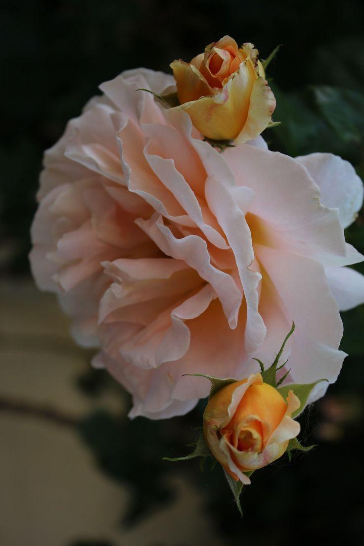 Rosa « La rosa è il profumo degli dei la gioia degli uomini orna le grazie dell'amore che sboccia è il fiore prediletto di Venere »