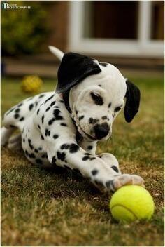 Play ball  #dalmatian