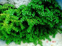 Image result for artillery plant (Pilea microphylla)
