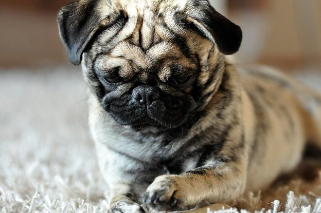 Cute Brindle Pug Puppy, unique color pattern. Tiger Pug!