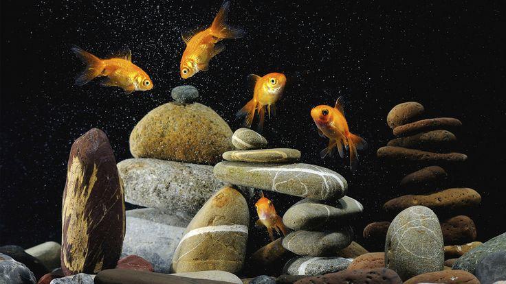 золотых, фон, рыбок, Пять, чёрный, камешки, разноцветные