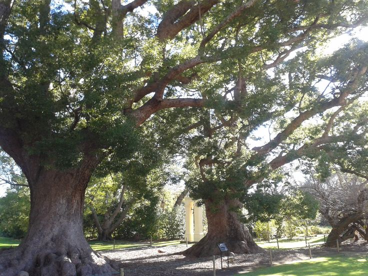300 year old camphor trees - Vergelegen, Somerset West, Cape Town South Africa