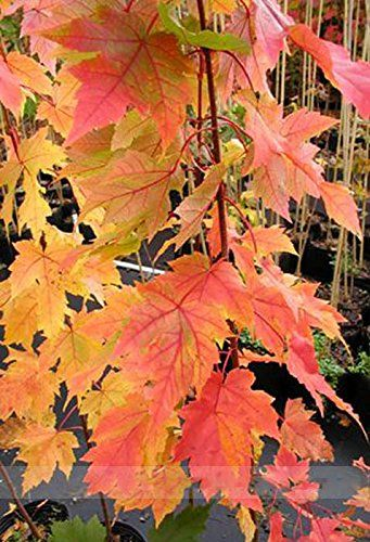 ADB Inc Red Yellow Pink Orange Red Maple Tree Seeds Maple 06 -- Continue to the product at the image link.
