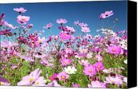 Cosmos Flowers. Nothing says summer like a field of flowers. Feels like a dream -- just like summer. #McCainAllGood