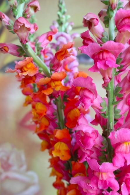 Snapdragons!  Love these but the tall ones (Rockets) are hard to find locally and these are very difficult to start from seed.